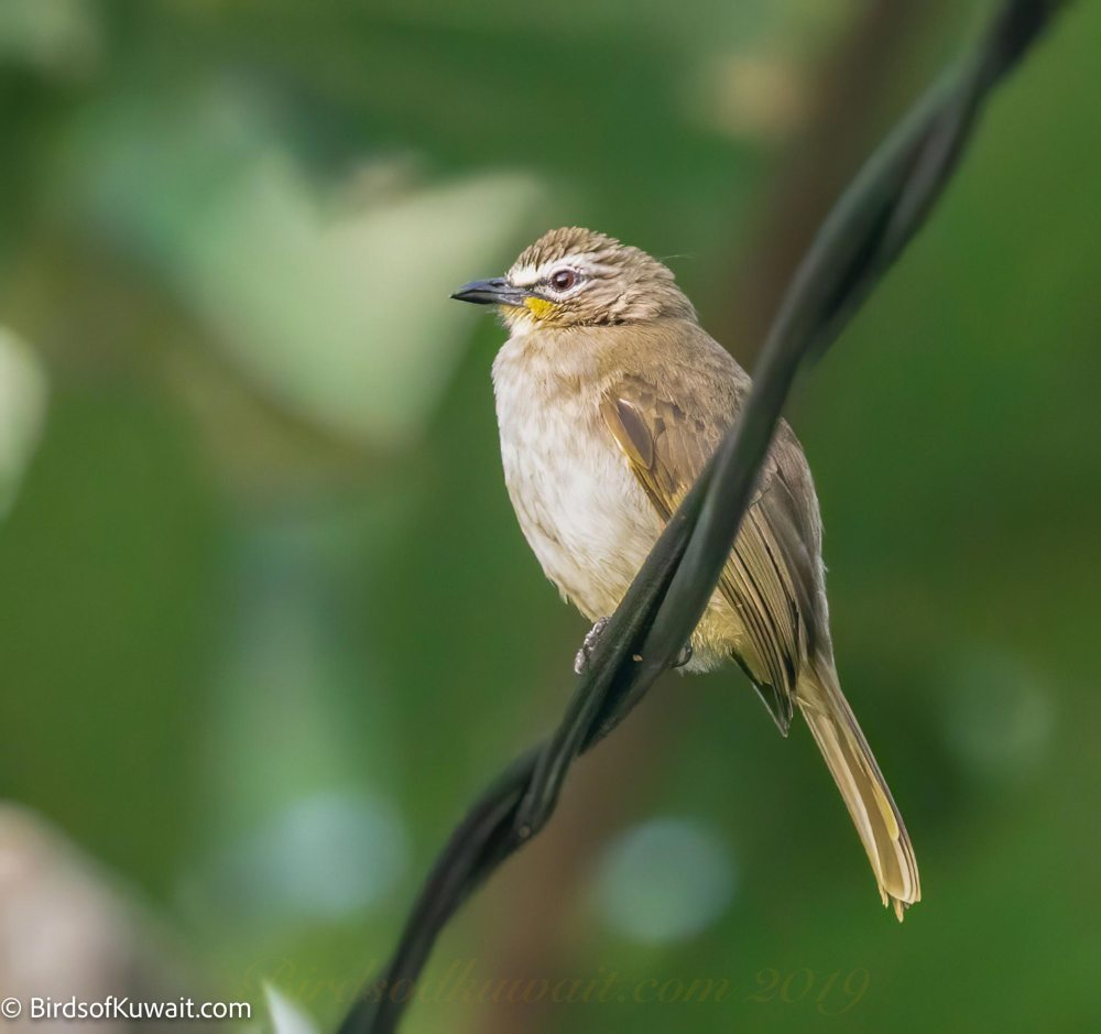 White-browed Bulbul  on wire