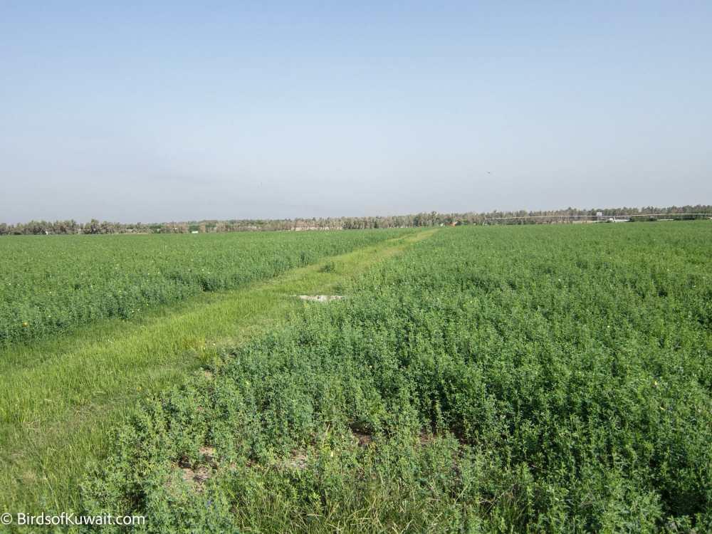 Sulaibiya Pivot Fields - Alfalfa fields