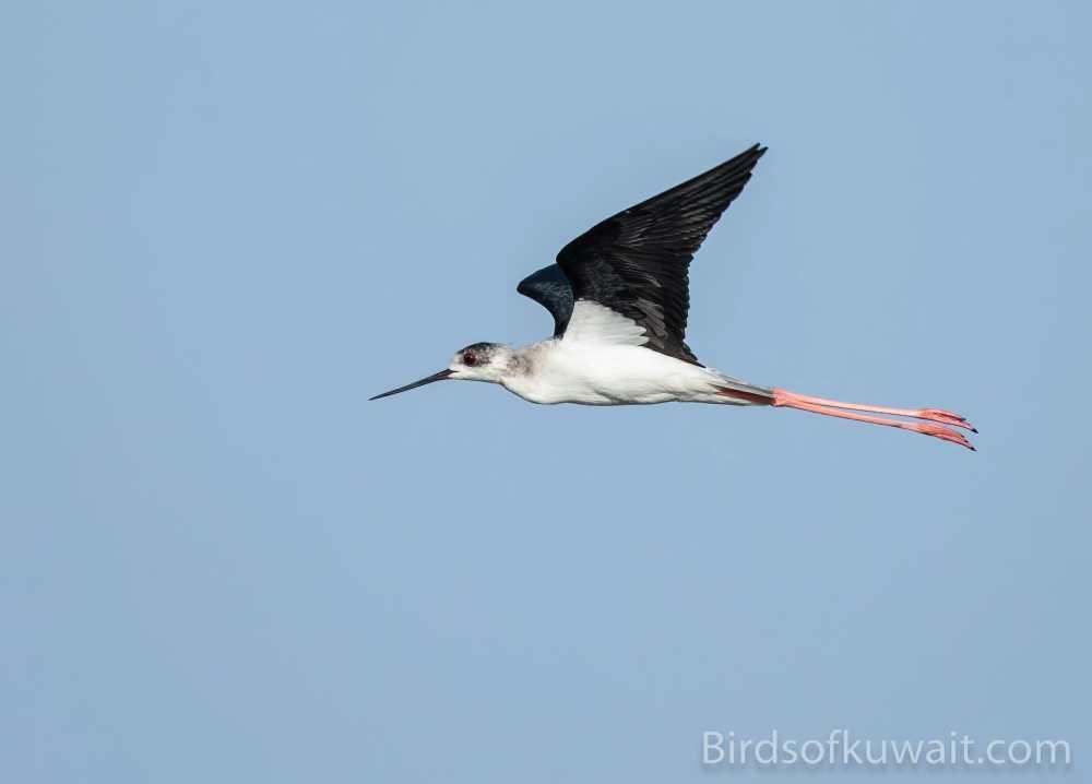 Black-winged Stilt Himantopus himantopus