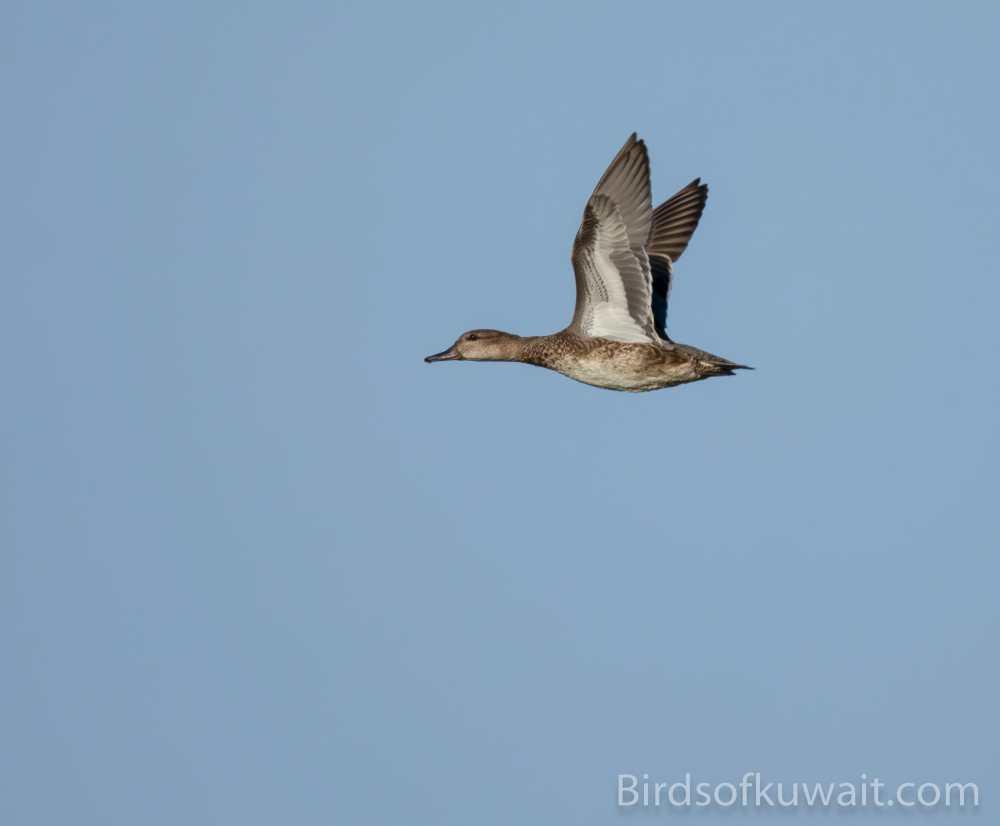 Eurasian Teal Anas crecca