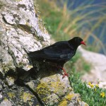 Red-billed chough. Photo by Andrew Kelly www.akellyphoto.com