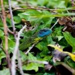 Green lizard. Photo by Simon Robson