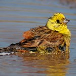 Yellowhammer. Photo by Romano da Costa