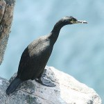 European shag. Photo by Mick Dryden