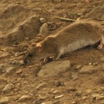 Brown rat. Photo by Mark Hows