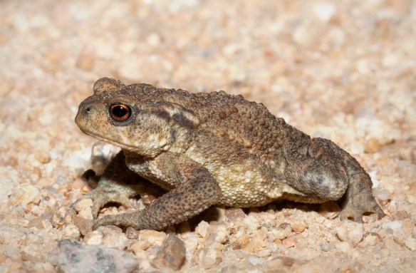 Common toad. Photo by Kristian Bell