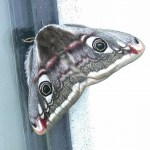 Emperor moth. Photo by Charles David