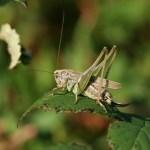 Grey bush-cricket. Photo by Richard Perchard