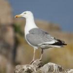 Herring gull. Photo by Mick Dryden