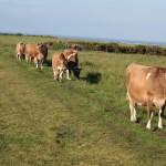 Jersey cows at Les Landes, May 2006. Photo by HGYoung