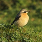 Northern wheatear. Photo by Mick Dryden