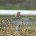 Cirl bunting at Les Landes 7th June 2011. Photo by Mick Dryden