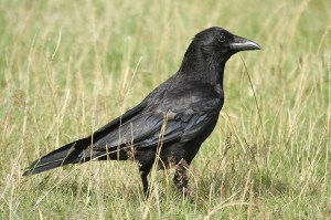 Carrion crow. Photo by Mick Dryden
