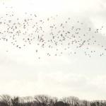 Linnets near Sorel. December 2012. Photo by Liz Corry