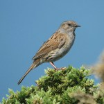 Dunnock. Photo by Mick Dryden