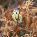 Blue tit. Photo by Mick Dryden