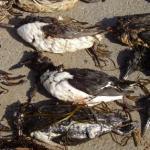 16.04.13_dead birds at Wembury (photo credit The Wildlife Trusts)