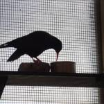 Chough in Sorel aviary. Photo by Liz Corry