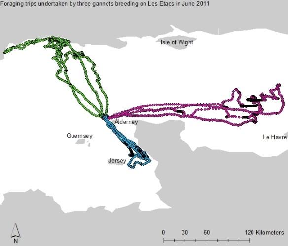 Gannets map 2011. Alderney Wildlife Trust