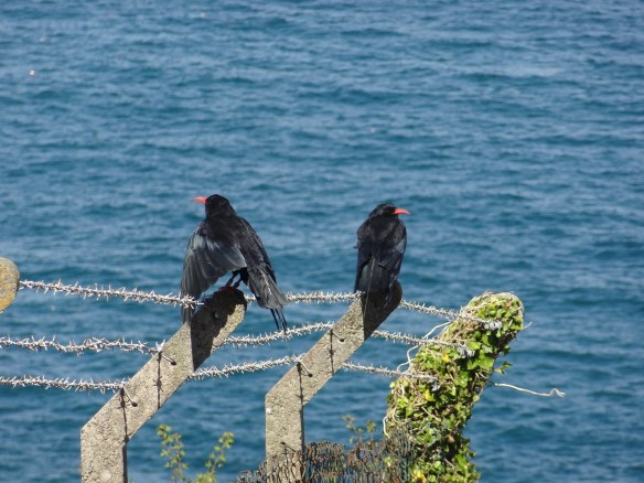 Red-billed choughs near Sorel Point. September 2013. Photo by Liz Corry