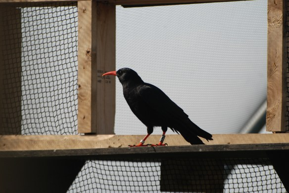 Chough waits at a hatch. Photo by Liz Corry