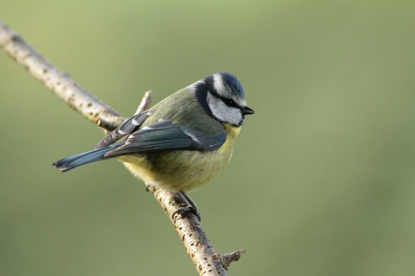 Blue tit. Photo by Regis Perdriat