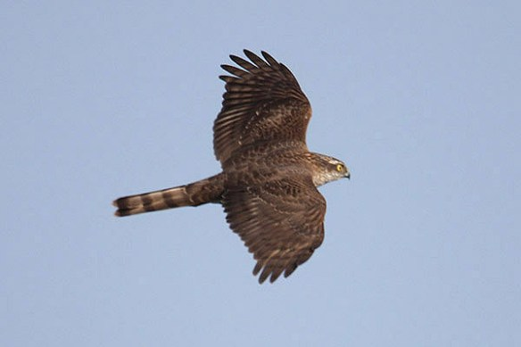 Sparrowhawk. Photo by Mick Dryden