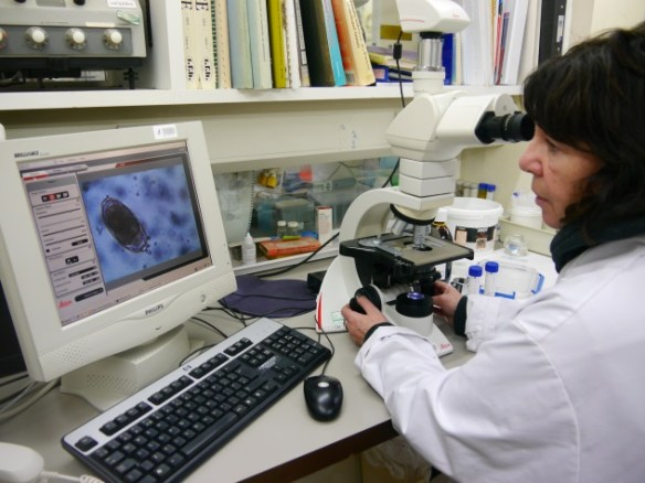 Lab manager Ann Thomasson scrutinising chough sample. Photo by Liz Corry