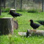 Choughs at the Sorel aviary. Photo by Liz Corry