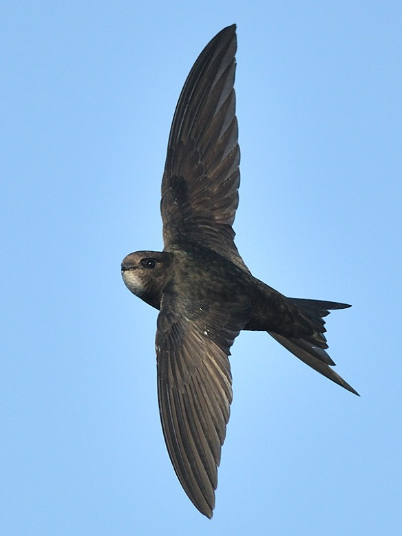 Common swift. Photo by Derek Moreton (2)