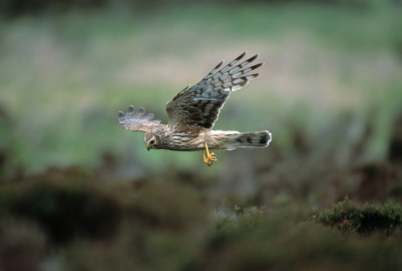 Hen harrier female. Photo by Andy Hay - RSPB-images.com