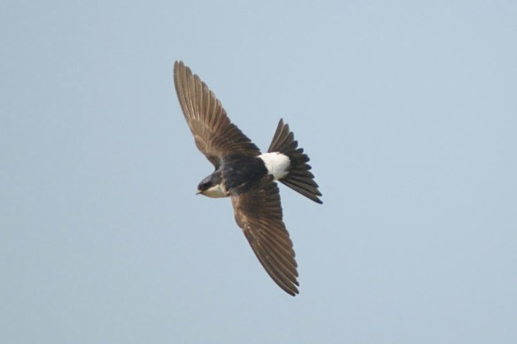 House martin. Photo by Romano da Costa