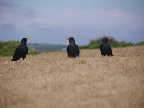 Choughs at Sorel. Photo by Liz Corry