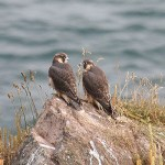 Peregrine juveniles 2008. Photo by Mick Dryden