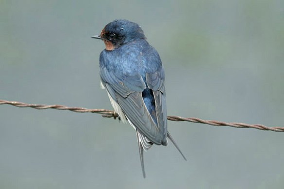 Swallow. Photo by Mick Dryden 6