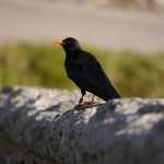 A wild Cornish chough chick