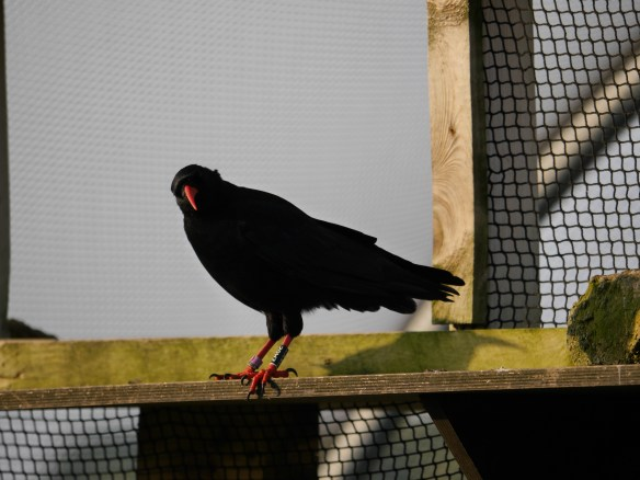 Mauve, female red-billed chough, currently missing from the flock on sixteen. Photo by Liz Corry