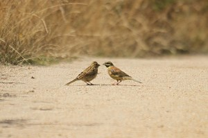 Cirl buntings. Photo by Mick Dryden