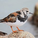 Ruddy turnstone. Photo by Mick Dryden
