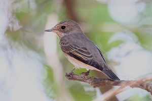 Spotted flycatcher. Photo by Mick Dryden