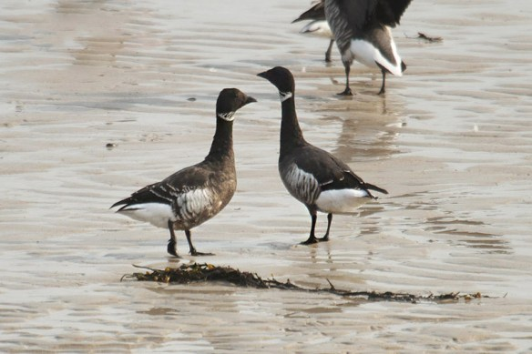 Brent geese (11). Photo by Mick Dryden