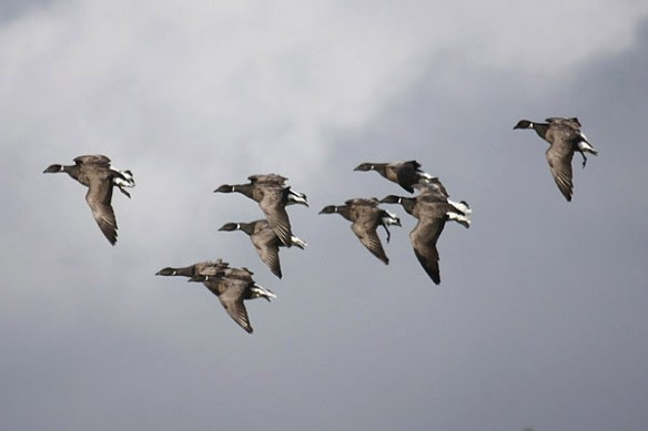 Brent geese (6). Photo by Mick Dryden