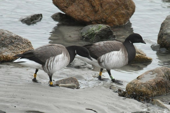 Brent geese (8). Photo by Mick Dryden