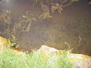 Le Marquand tadpoles