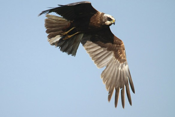 Marsh harrier 4. Photo by Mick Dryden