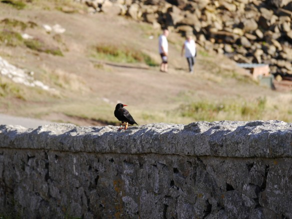 One of three choughs spotted feeding around Cape Cornwall. Photo by Liz Corry