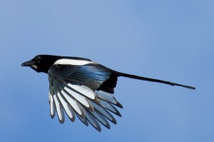 Magpie. Photo by Mick Dryden