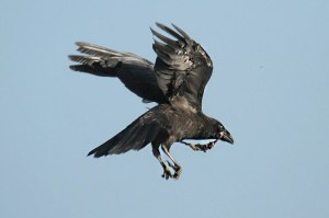 Raven (3). Photo by Mick Dryden