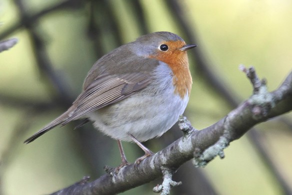 Robin (3). Photo by Mick Dryden