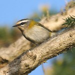 Firecrest. Photo by Mick Dryden